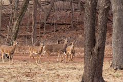 ciervos Blanco-atados que pastan cerca del bosque Fotos de archivo