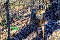 Ciervos Blanco-atados varón en rastro Fotografía de archivo