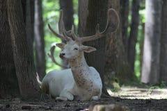 Ciervos blancos Imágenes de archivo libres de regalías