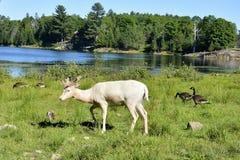 Ciervos blancos Imagenes de archivo