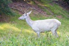 Ciervos blancos en un bosque, Dinamarca del albino Imagenes de archivo