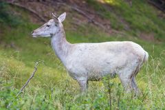 Ciervos blancos en un bosque, Dinamarca del albino Imágenes de archivo libres de regalías