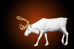 Ciervos blancos raros con los cuernos de oro en rojo Fotografía de archivo libre de regalías