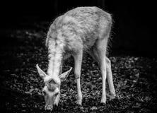 Ciervos blancos y negros Fotos de archivo libres de regalías