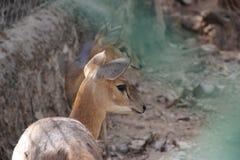 Ciervos calf Imagenes de archivo