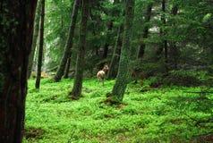 Ciervos capturados en el bosque Fotos de archivo