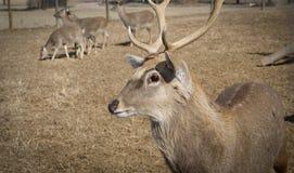 Ciervos cerca de la zona del DMZ, Corea del Sur imágenes de archivo libres de regalías