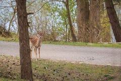 Ciervos cerca de Zandvoort Fotografía de archivo libre de regalías