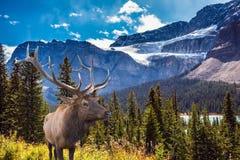 Ciervos comunes antlered en la ladera Foto de archivo