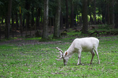 Ciervos comunes blancos que comen la hierba en el bosque Foto de archivo