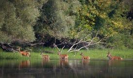 Ciervos comunes e hinds en el río Foto de archivo libre de regalías