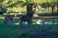 Ciervos comunes, elaphus del Cervus en un parque de naturaleza alemán imágenes de archivo libres de regalías