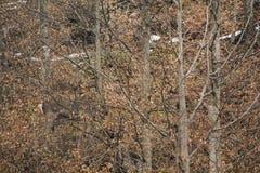 Ciervos comunes en camuflaje en un bosque de la haya Imágenes de archivo libres de regalías