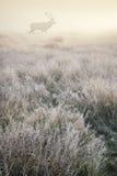 Ciervos comunes en el lan de niebla del bosque y del campo de Autumn Fall de la salida del sol Foto de archivo libre de regalías