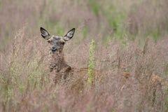 Ciervos comunes en hierba alta Fotos de archivo libres de regalías