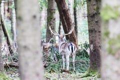 Ciervos comunes europeos en el bosque Imagenes de archivo