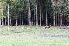 Ciervos comunes europeos en el bosque Imágenes de archivo libres de regalías