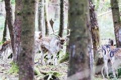 Ciervos comunes europeos en el bosque Foto de archivo