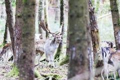 Ciervos comunes europeos en el bosque Fotografía de archivo libre de regalías