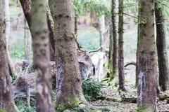Ciervos comunes europeos en el bosque Imagen de archivo