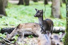 Ciervos comunes europeos en el bosque Foto de archivo libre de regalías