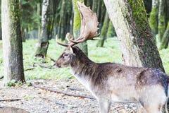 Ciervos comunes europeos en el bosque Fotos de archivo libres de regalías