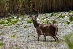 Ciervos comunes irlandeses que alimentan en pantano Foto de archivo libre de regalías