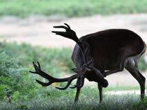 Ciervos comunes masculinos del macho en el bosque Foto de archivo libre de regalías