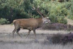 Ciervos comunes masculinos durante la estación rutting fotos de archivo