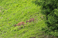 Ciervos comunes masculinos y femeninos jovenes que caminan abajo de la montaña con GR Fotografía de archivo libre de regalías