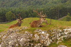 Ciervos comunes, montañas escocesas Foto de archivo libre de regalías