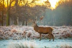 Ciervos comunes por la mañana Sun Imagen de archivo