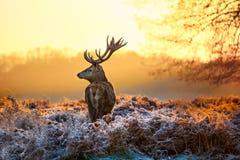 Ciervos comunes por la mañana Sun Imagenes de archivo