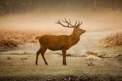 Ciervos comunes por mañana Fotos de archivo