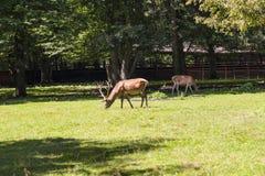 Ciervos con las astas magníficas, parque nacional de Bialowieza Imagen de archivo