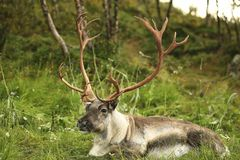 Ciervos con los cuernos hermosos grandes en el fondo del bosque imagen de archivo