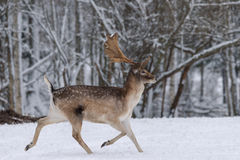 Ciervos corrientes Ciervos en barbecho adultos con funcionamientos grandes de los cuernos a través de la nieve a lo largo del bos Fotos de archivo