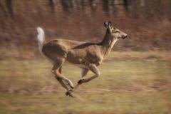 Ciervos corrientes rápidos Fotos de archivo