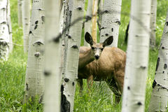Ciervos curiosos en el álamo temblón más forrest Foto de archivo libre de regalías