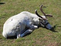 Ciervos curiosos jovenes que descansan sobre el c?sped en el parque zool?gico fotografía de archivo