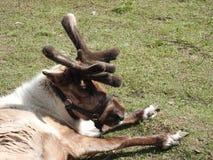 Ciervos curiosos jovenes que descansan sobre el c?sped en el parque zool?gico imagen de archivo libre de regalías