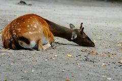 Ciervos Dappled Fotos de archivo
