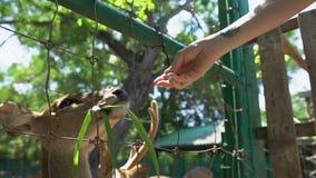 Ciervos de alimentación de la mujer en parque zoológico del contacto almacen de metraje de vídeo