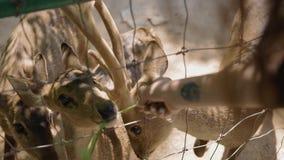 Ciervos de alimentación de la mujer en parque zoológico del contacto metrajes