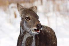 Ciervos de almizcle siberianos imagenes de archivo