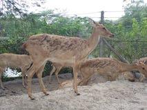 Ciervos de Asia en el parque zoológico Fotografía de archivo