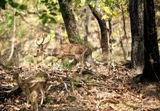 Ciervos de Cheetal en el bosque de Jim Corbett fotos de archivo