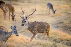 Ciervos de Chital Foto de archivo libre de regalías