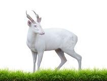 Ciervos de descortezamiento del albino Fotografía de archivo