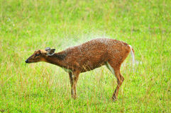 Ciervos de descortezamiento en el parque nacional de Khao Yai Imagen de archivo
